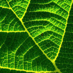 chlorophylle