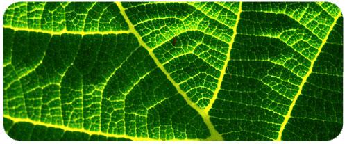 Synthèse et rôle de la chlorophylle