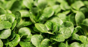 Salade chlorophylle